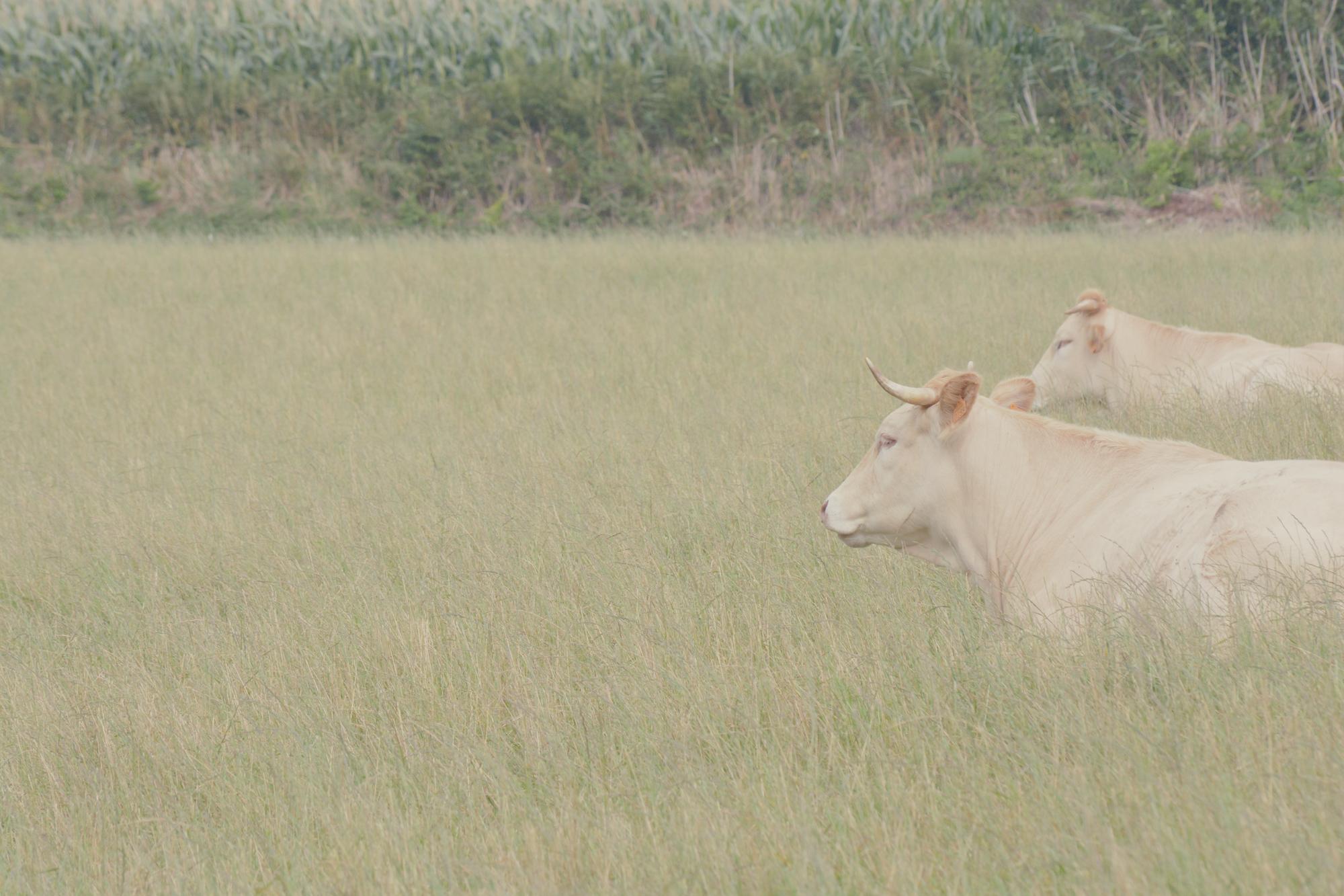 Bœufs de Bretagne